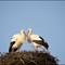 Storck pair: Storck's nest in the city of Bern, Switzerland