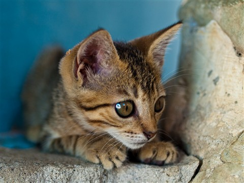 Kitten, Cabuya090426
