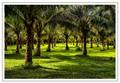 Coconut Orchard, Guimaras Island, Philippines
