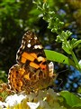 Butterfly: Australian Painted Lady.