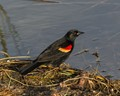 Redwing Blackbird in the Morning Light