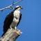 3-27-14 osprey 64 (1 of 1)