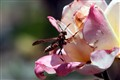 Wasp on a Rose