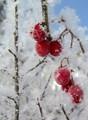 Frozen fruit of the Viburnum Opulus shrub