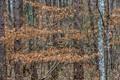 winter beech leaves