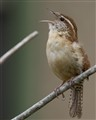 Carolina Wren - announces the morning