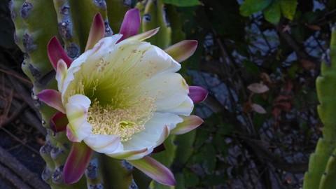 Cactus ZS25-2