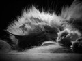 Backlit Maine Coon
