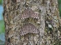Butterflies on Bark