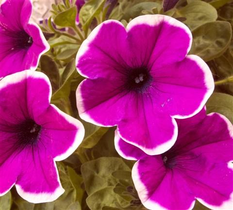 petunias