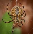 Garden Spider from Below