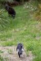 Little stalks big Wallaby