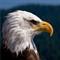 Bald Head Eagle close to Vancouver