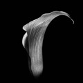 Calla in the style of Imogen Cunningham