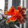 Windowbox Flower 3
