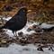 blackbird-3040015