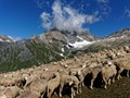 Alpine Sheep - some with stars upon thars