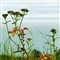Wild-flowers Along The Coastal Path ~ Lyme Regis
