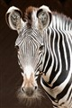 Zebras Portrait-Posing