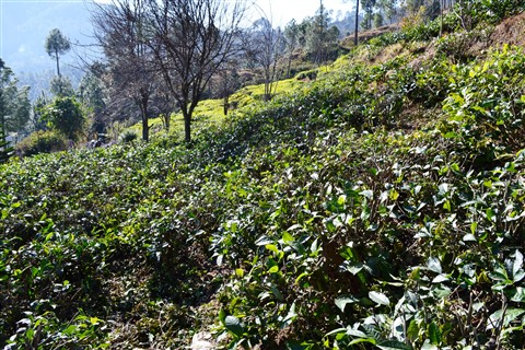Tea Gaden on hill top at Kausani, Uttrakhand