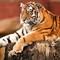 Amur Tiger    Colchester Zoo