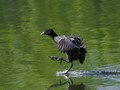 Coot waterskiing