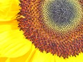 Sunflower Curves