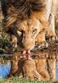 Drinking Lion, Masai Mara, Kenya