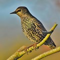 Spotty Starling.