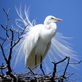 Both male and female Great Egrets grow breeding plumage in the Spring as part of their courtship process.