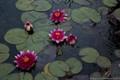 Lotus, lotus, lotus