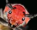 Milkweed Beetle Portrait