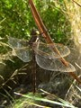 Translucent Wings of a Dragonfly