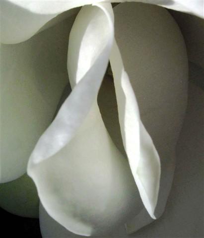 Sensual magnolia