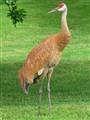 Sandhill Crane (North America)