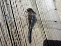 black a dragonfly