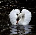 swan sailor