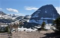 Mountain goat in Glacier-Waterton National Park