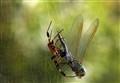 Dragonfly For Dinner