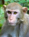 Direct Gaze: Silver River Rhesus Macaque