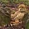 Cheetah world day | David Mohseni