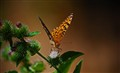 Butterfly_II
