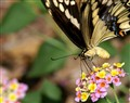 Butterfly copy