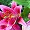 IMG_1679_1200 - Star Gazer, Oriental Lily