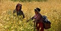 Nepali women with baby in the basket harvesting barley