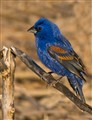 Blue Grosbeak on Broken Reed