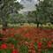 poppies1920
