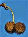 Itchy balls (Poplar tree)