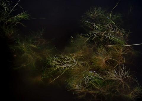 Sutro weeds 1