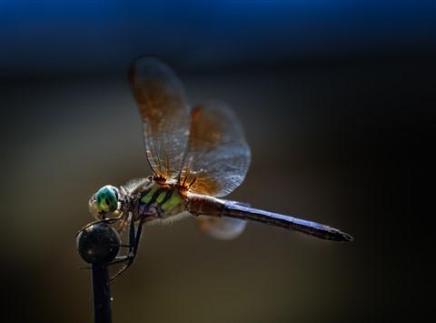 DragonflyDP